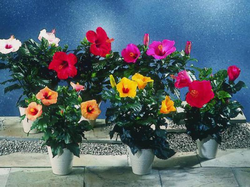 Цветок Гибискус китайский