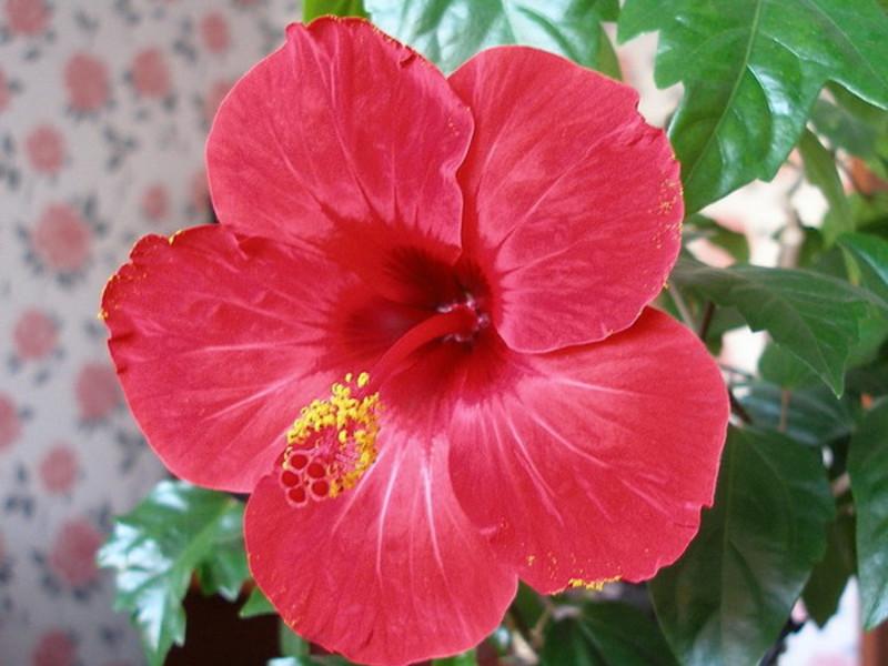 Китайская роза цветок смерти гибискус