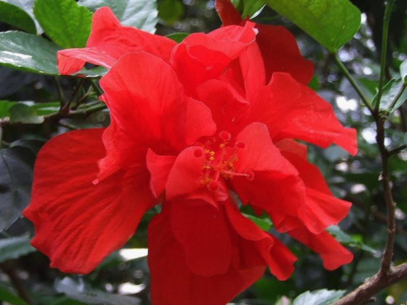Почему китайская роза считается цветком смерти