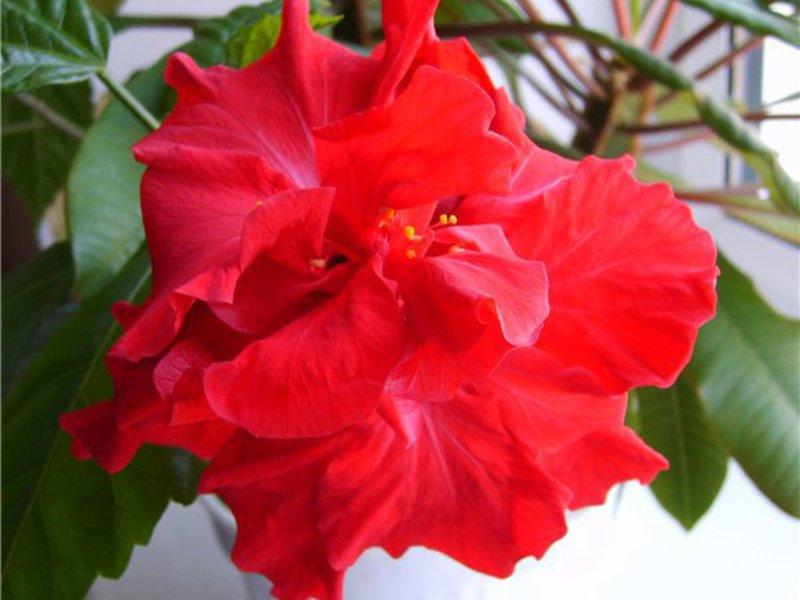 Домашний цветок роза