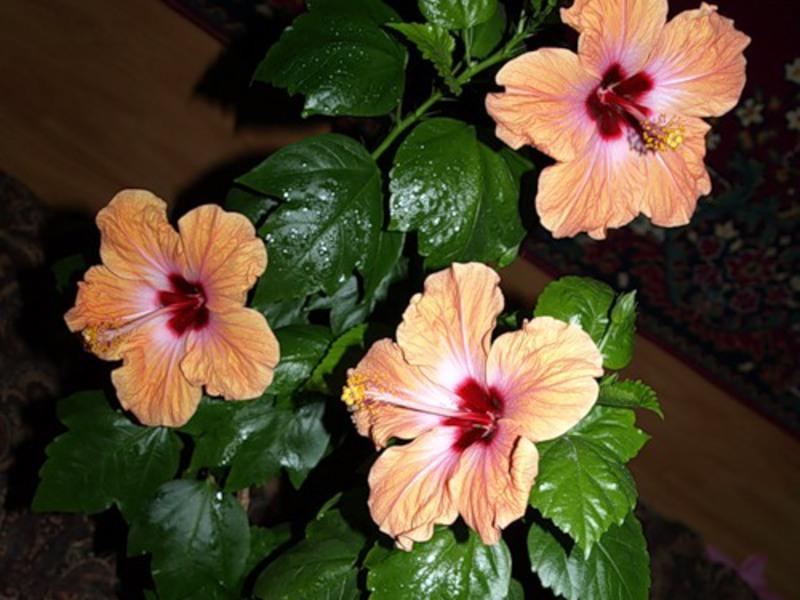 Цветок гибискус и уход