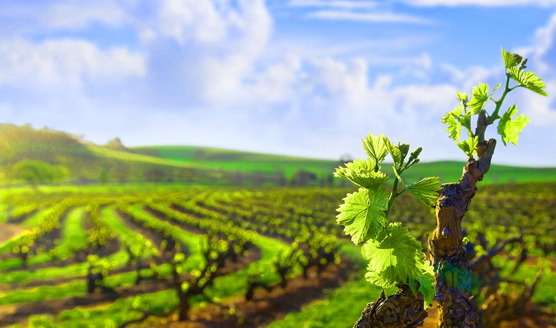 Расстояние между кустами винограда, или есть ли смысл в загущении посадок