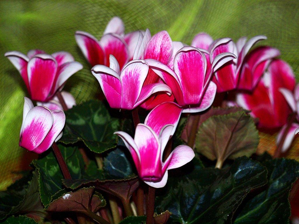 Покупка цветка и как ухаживать за цикламеном в домашних условиях?
