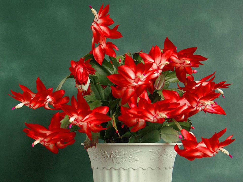 В унисон с природными ритмами, или Как заставить декабрист цвести?