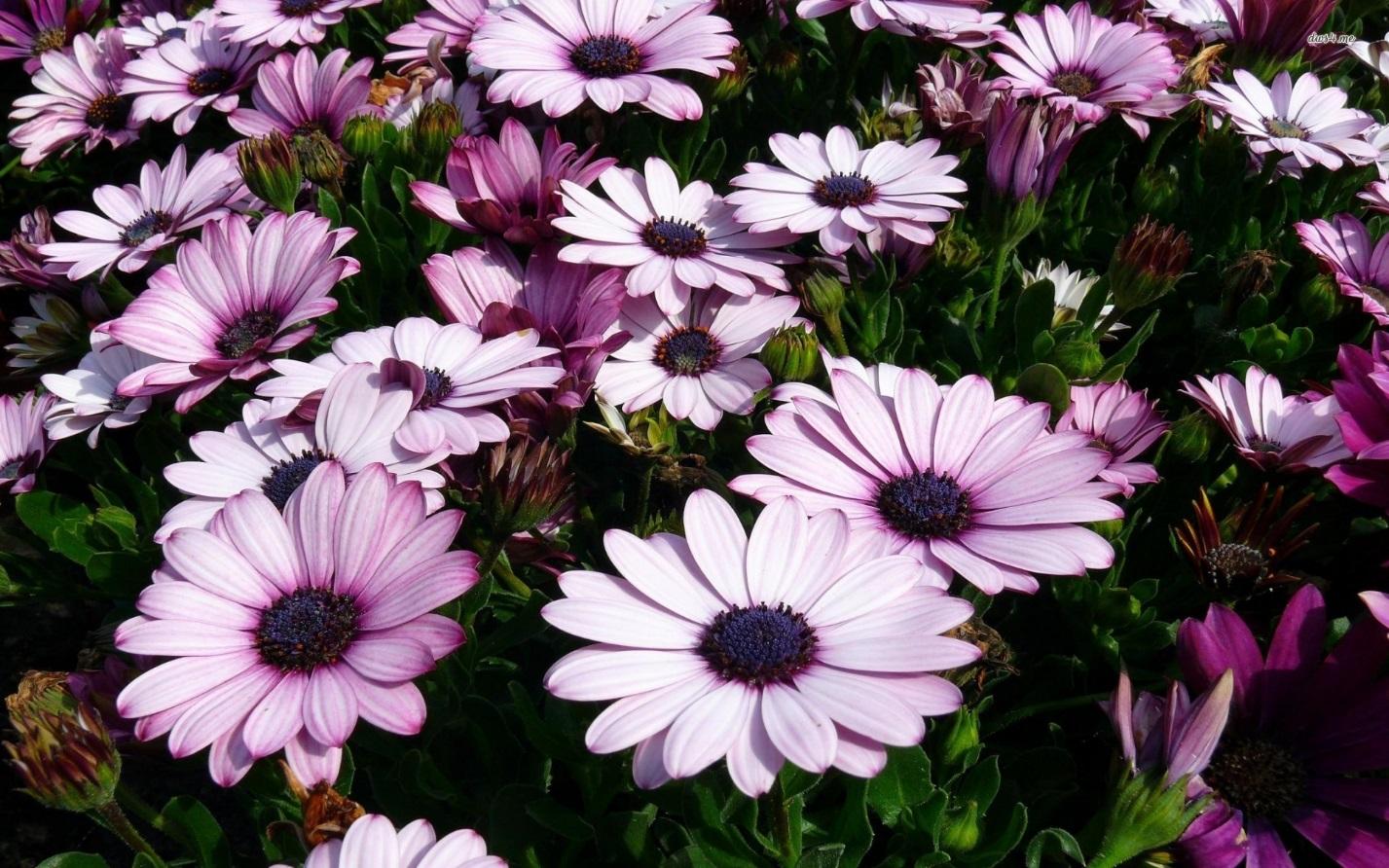 Диморфотека описание выращивание из семян