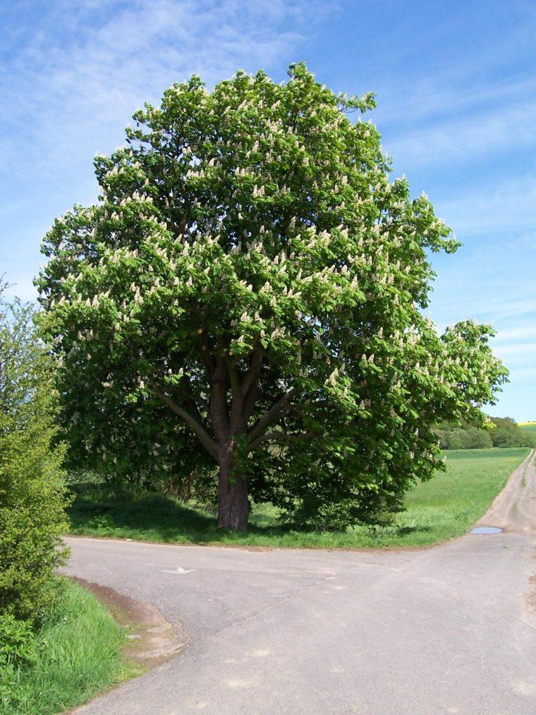 Дерево каштан конский в цвету