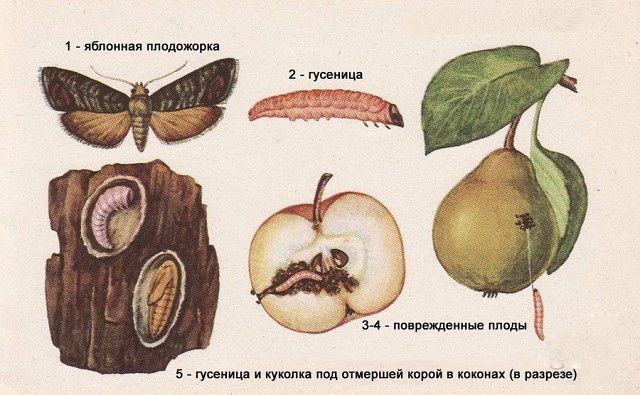 Рисунок плодожорки
