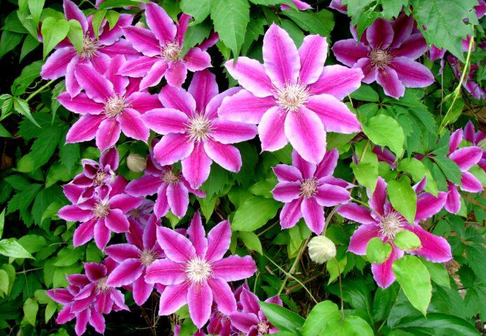 Лианы Для Сада Декоративные Цветущие, Однолетние и Многолетние Виды, Красивые Вьющиеся Тенелюбивые и Неприхотливые Растения Для Дачи