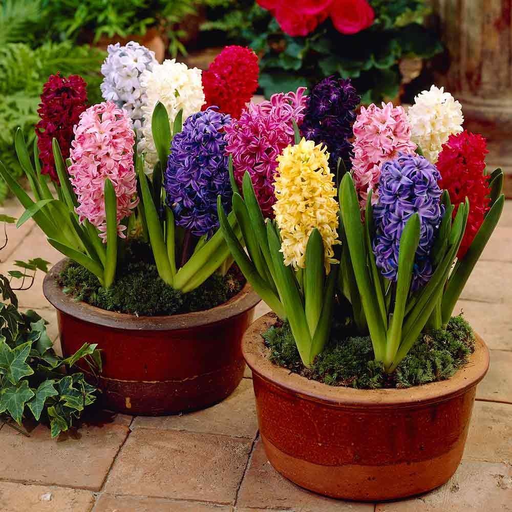 Цветы гиацинты: описание, выращивание и фото