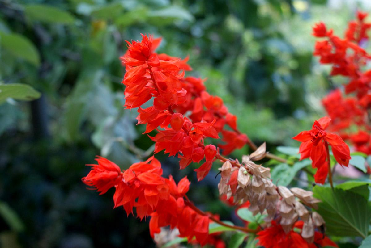 может сильвия что за цветок фото переменные