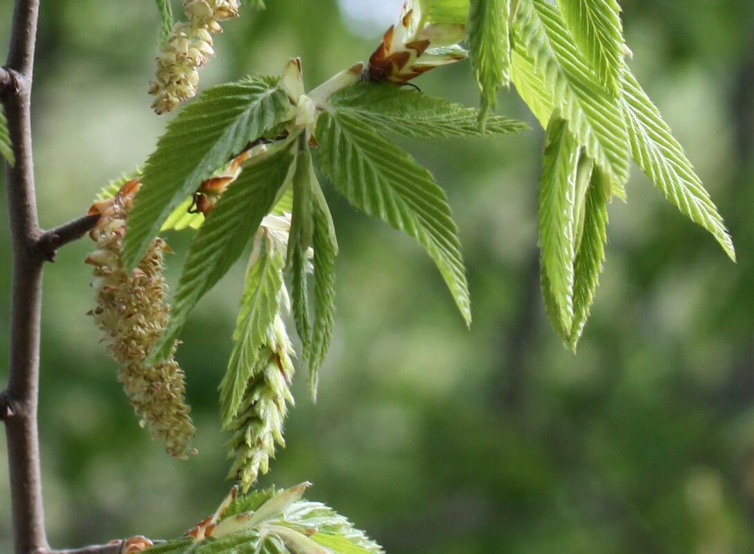 Дерево граб: описание, выращивание и фото