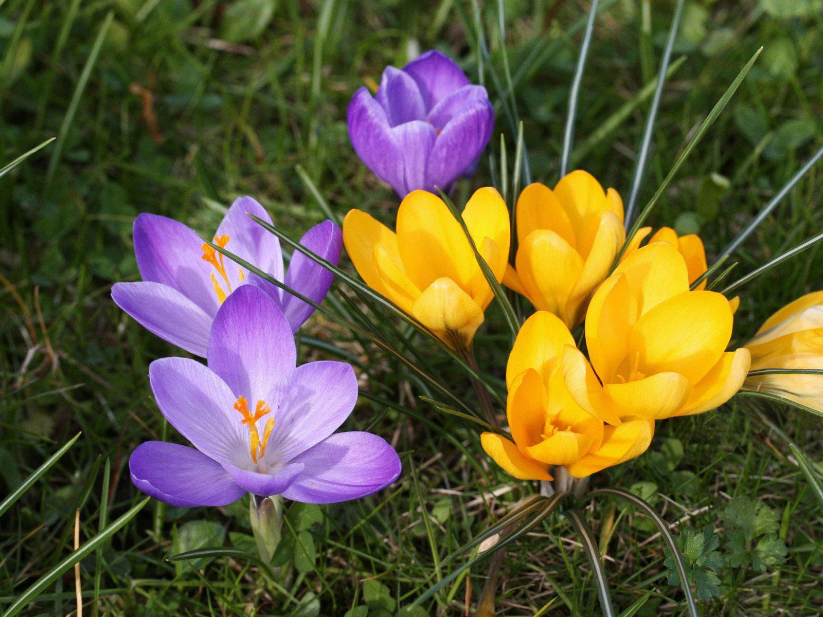 Первоцветы крокусы: фото, посадка и уход в открытом грунте