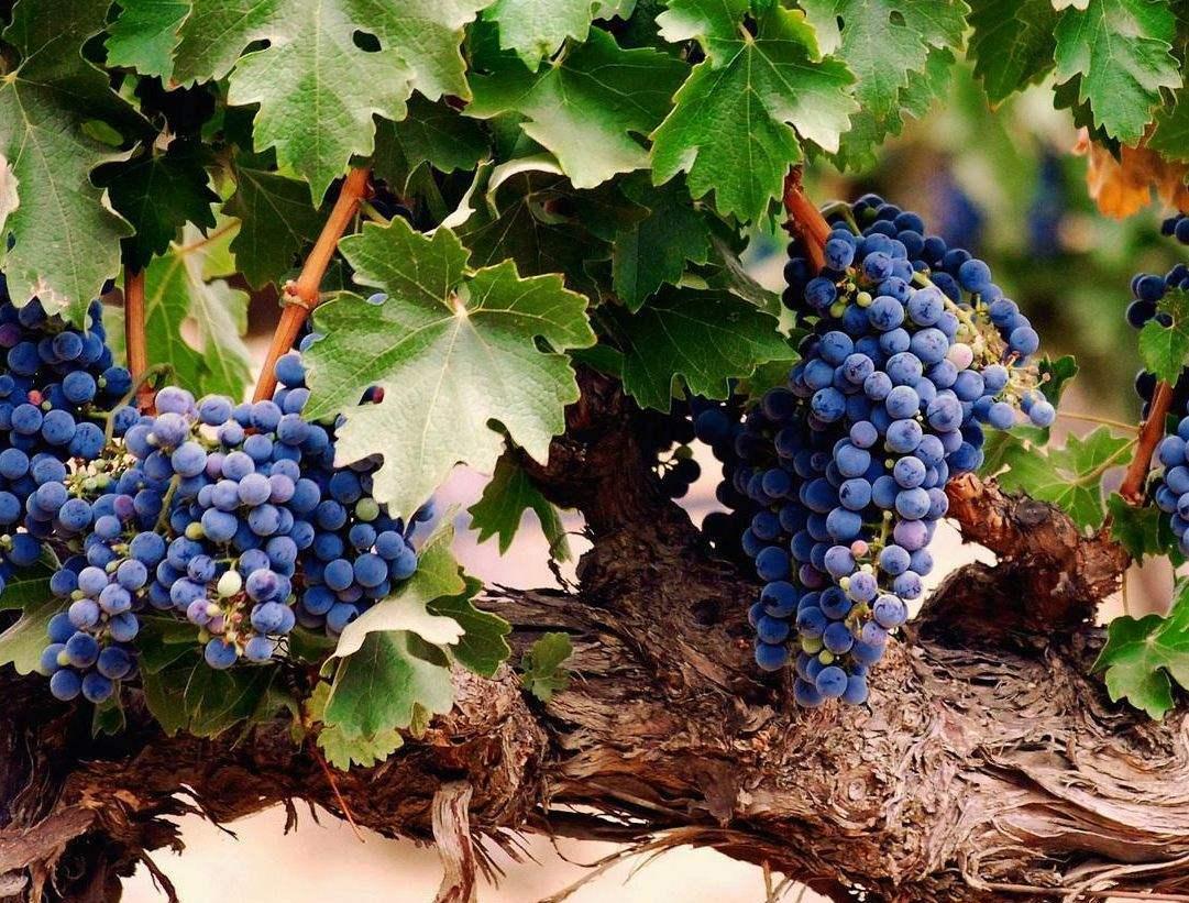 Борьба с болезнями и вредителями на винограднике: когда нужна химия