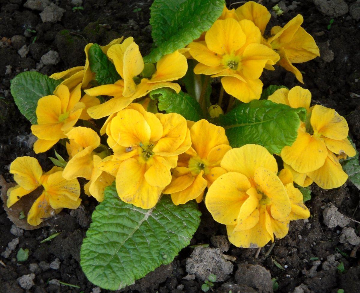Примула — цветок первоцвет, особенности сорта