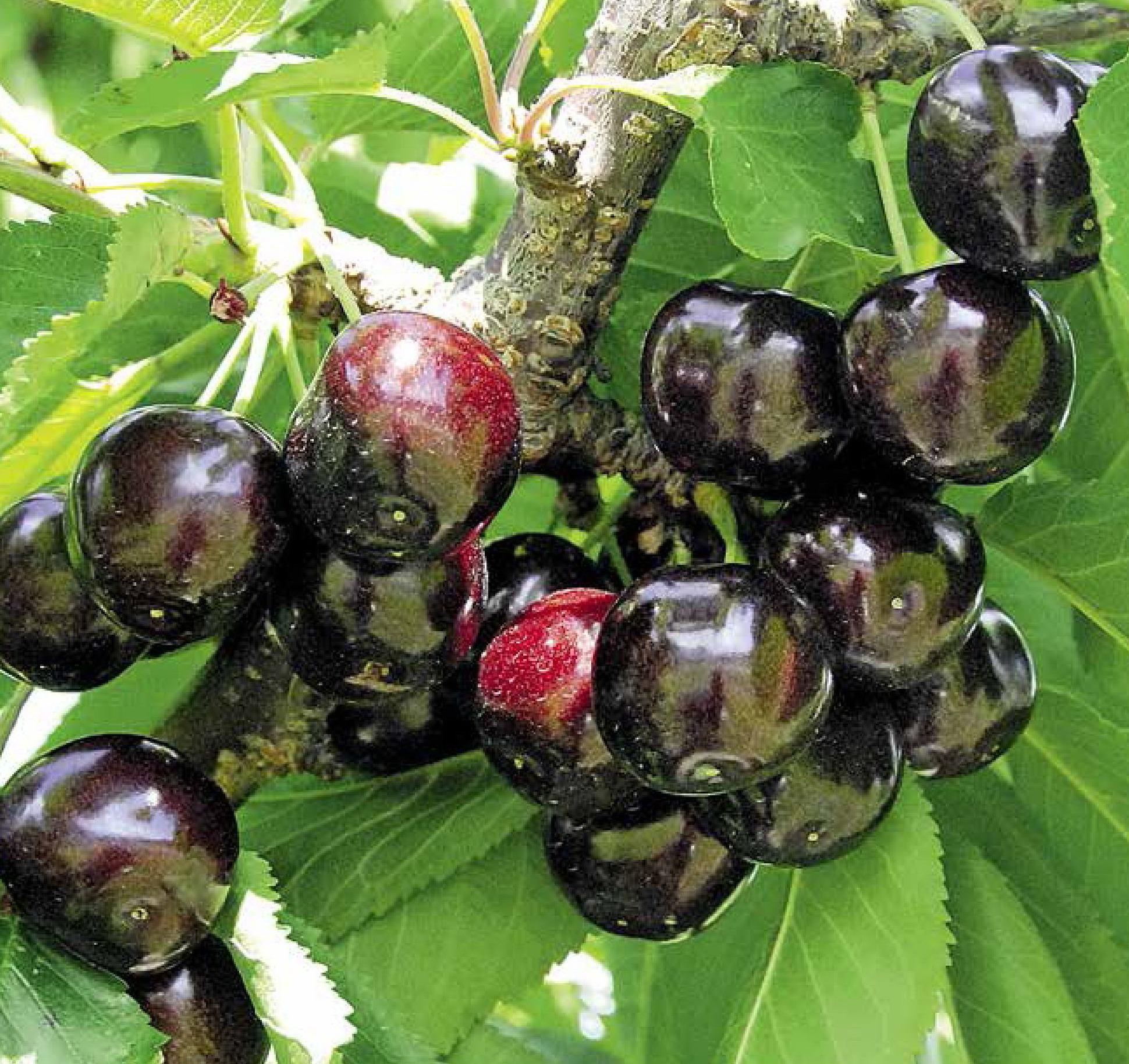 Черешня Мелитопольская - описание сорта, фото, отзывы садоводов
