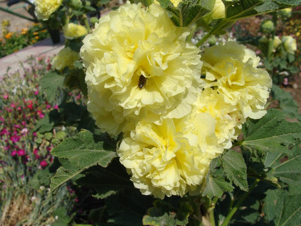 Когда сажать шток розу для выращивания из семян?