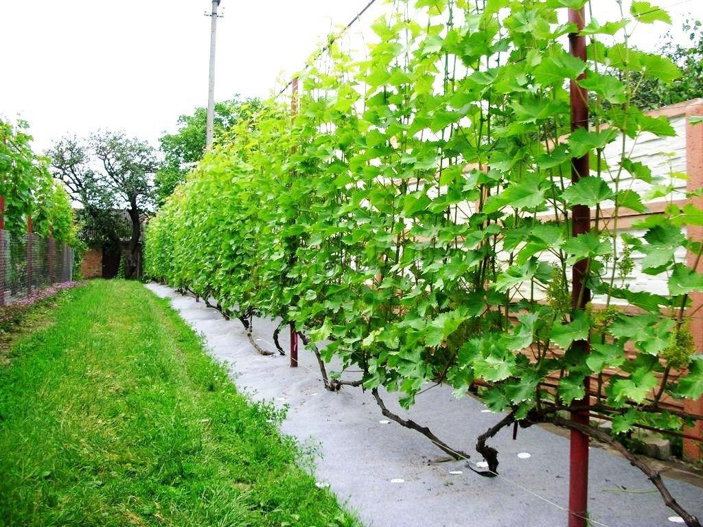 Виноград: снятие зимнего укрытия в весенний период, технология открытия после зимы