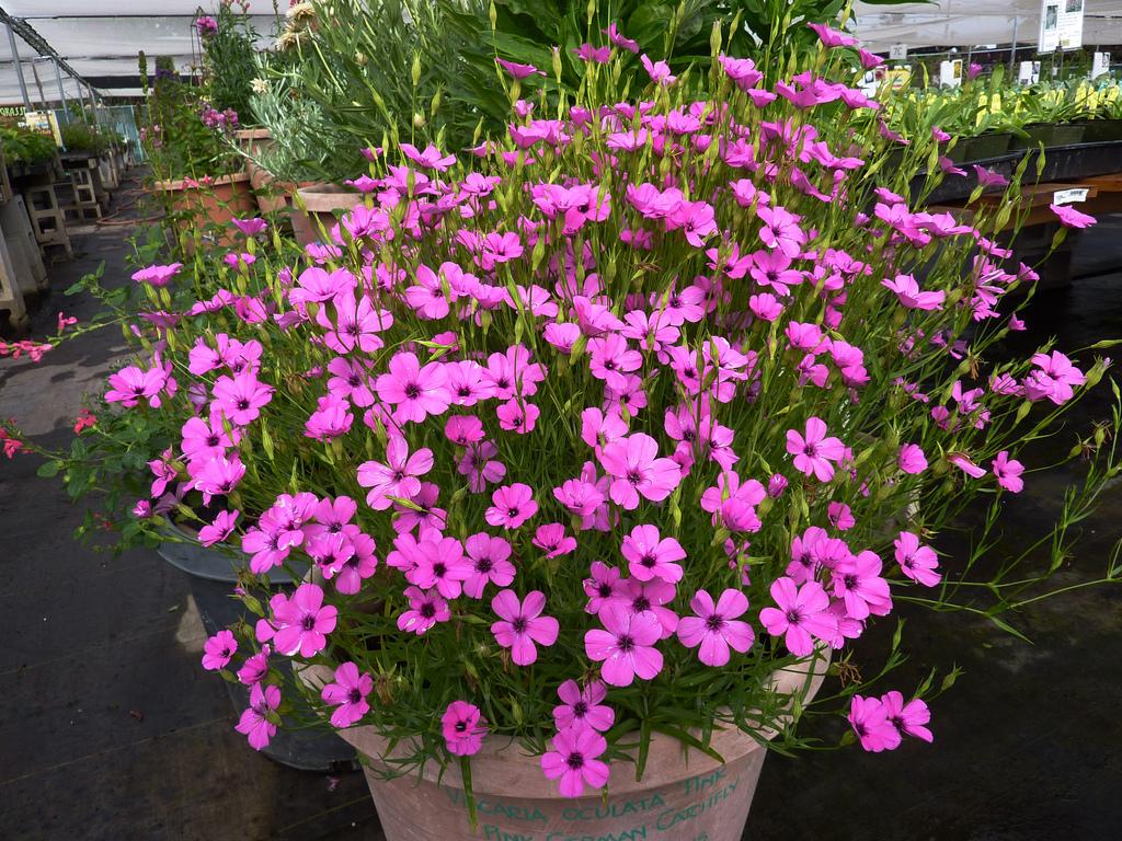 Выращивание цветов вискарии из семян