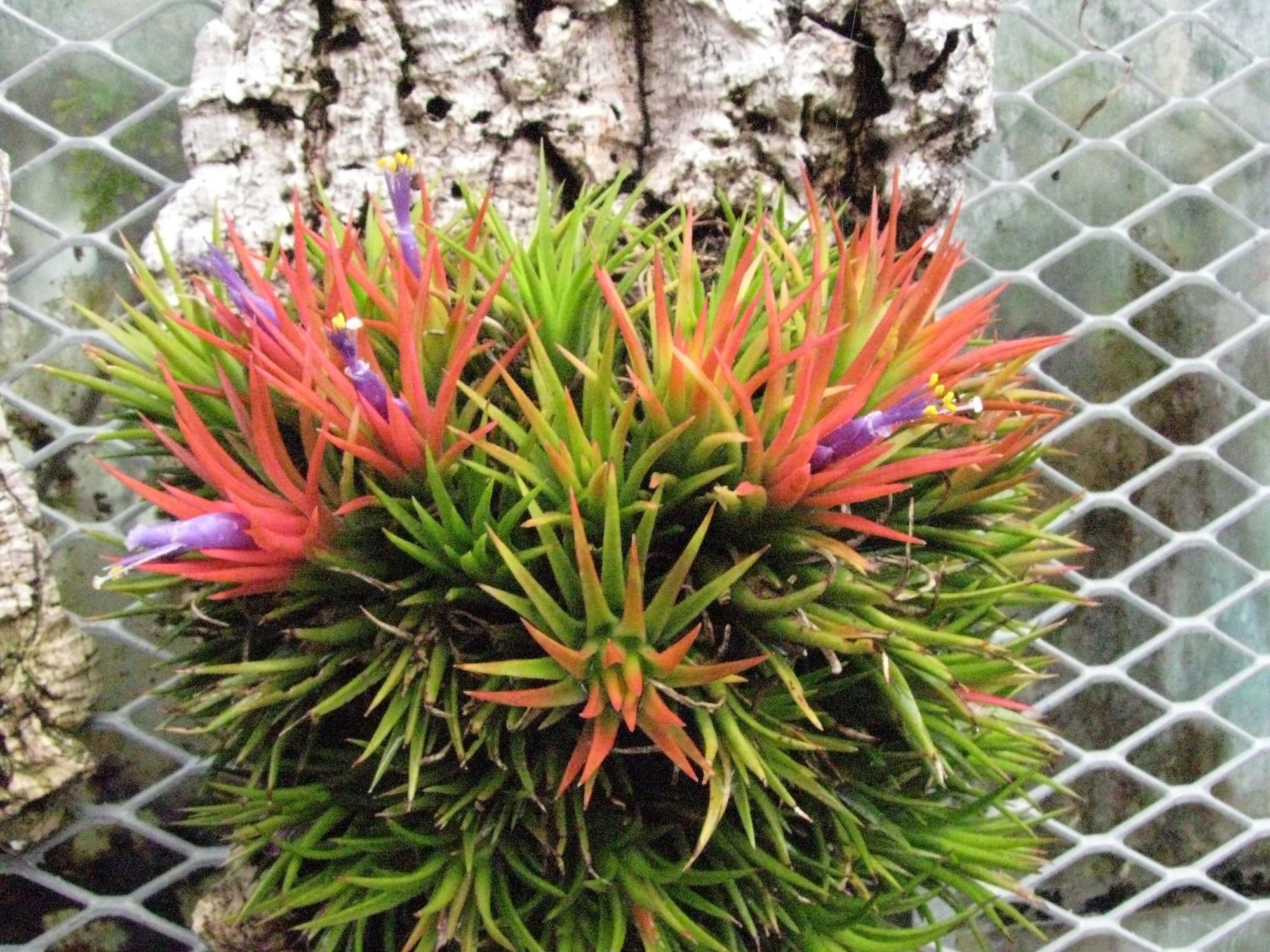 Тилландсия: яркое и необычное растение в вашем доме