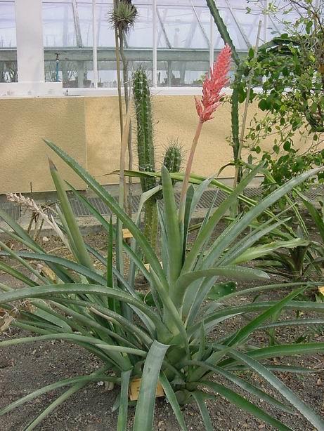 Эхмея - уход в домашних условиях, сорта с фото, размножение растения