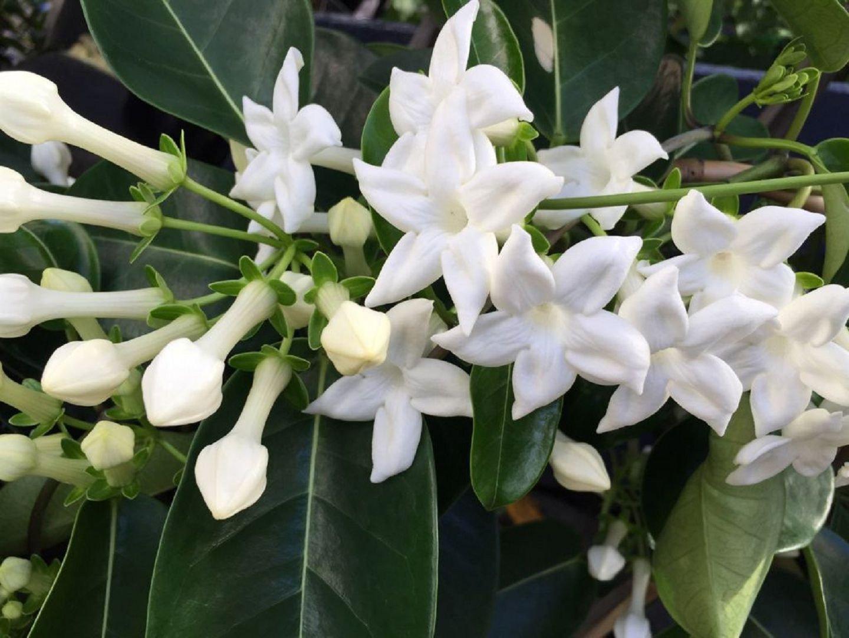 Стефанотис: стоит ли выращивать дома и как это делать?