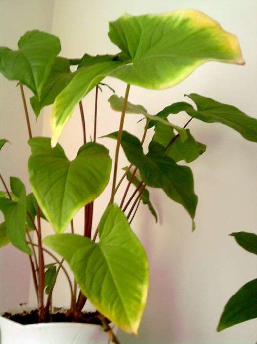 Сингониум - уход в домашних условиях за цветком, сорта с фото, секреты