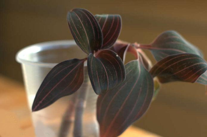 Традесканция - уход в домашних условиях, фото сортов, нюансы выращивания