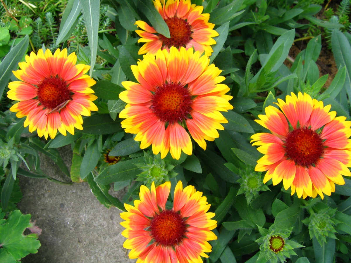 Солнечная гайлардия: сорта, фото, посадка и уход в открытом грунте