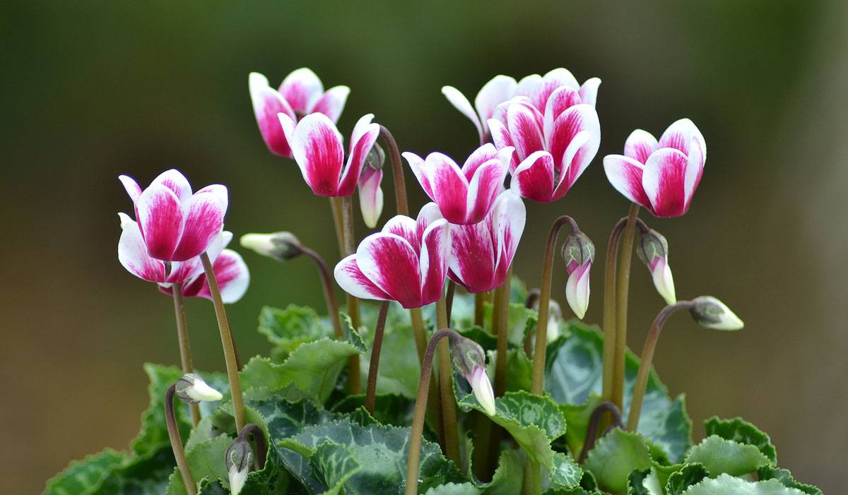 Цветок цикламен — рекомендации по уходу в домашних условиях