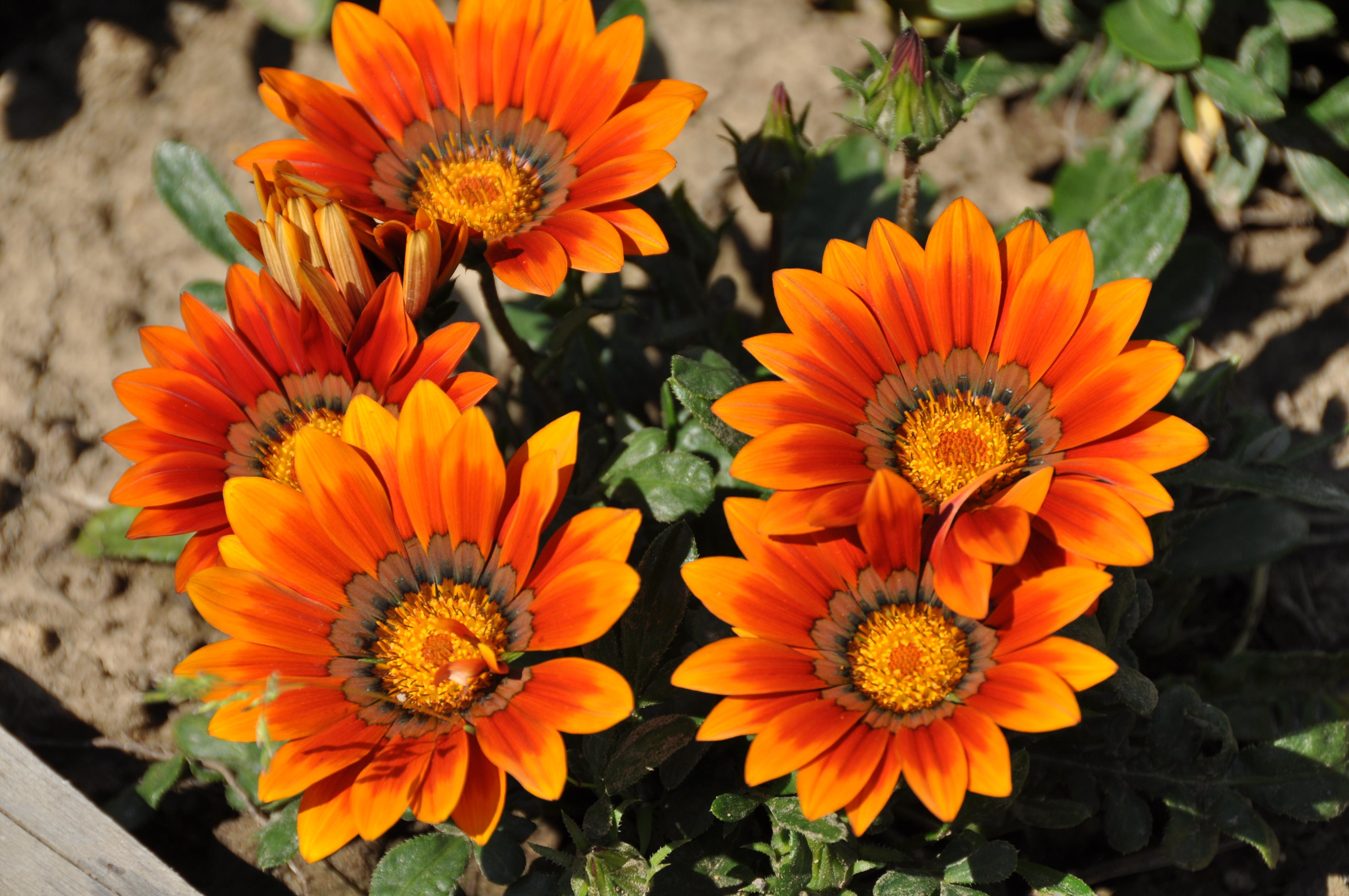 Выращивание гацании из семян и черенков в домашних условиях