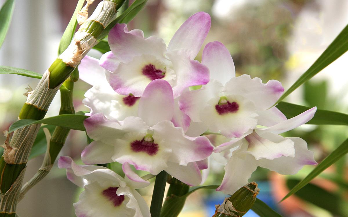 Виды орхидеи Дендробиум: фото, названия и особенности ухода