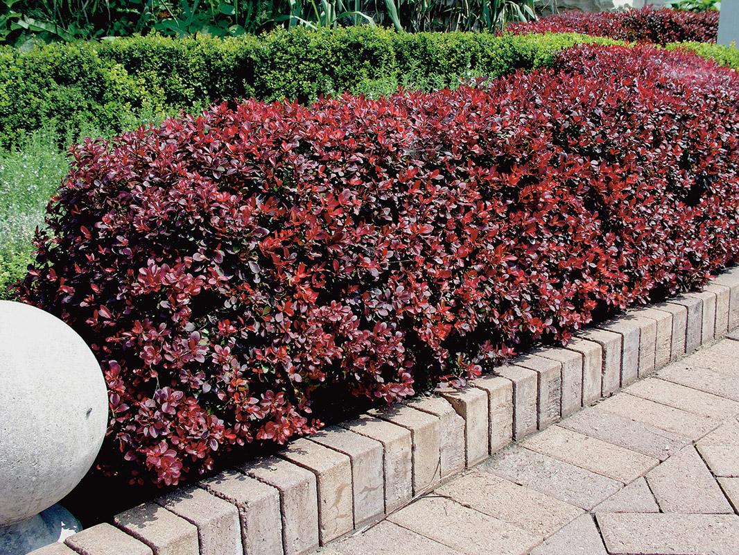 Барбарис Тунберга в вашем саду: уход, формирование и обрезка