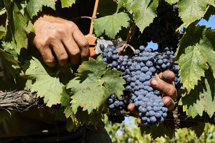 Виноград Страшенский: описание и характеристики сорта, посадка и выращивание