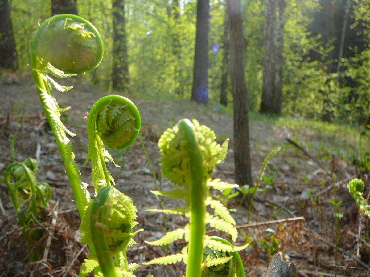 Что за растение такое — папоротник орляк обыкновенный
