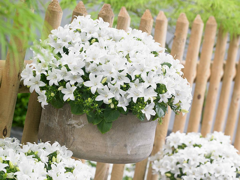 Цветок «Жених и невеста» или кампанула: уход в домашних условиях