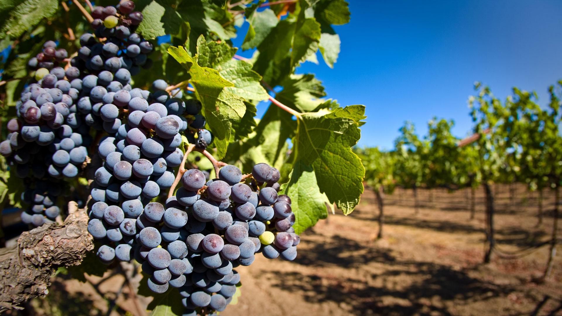 Чем и как подкормить виноград на дачном участке: рекомендации по внесению удобрений