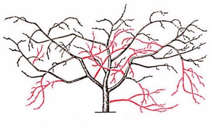 Схема обрезки старой вишни