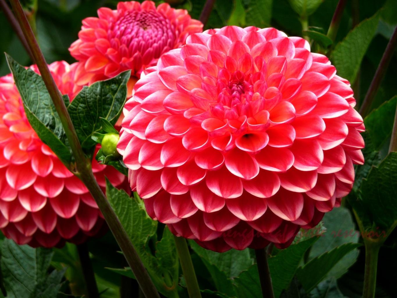 Обои стебель, цветок, оранжевая, Георгина, цветы. Цветы foto 15
