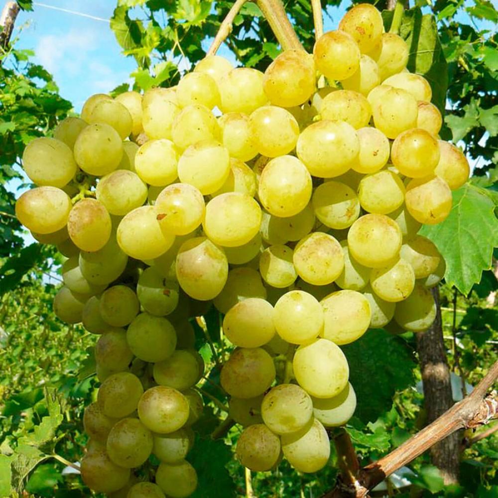 Морозостойкий виноград Восторг: в восторге ли садоводы?