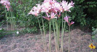 Цветение амариллиса