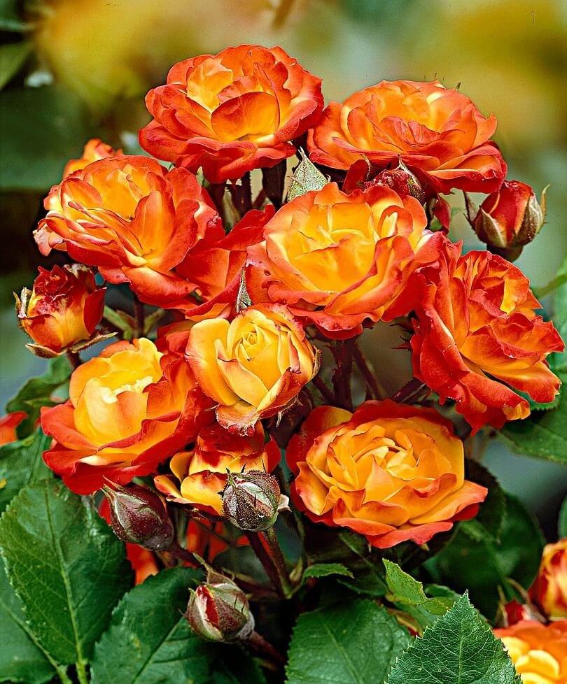 Розы флорибунда: описание, фото и отзывы цветоводов