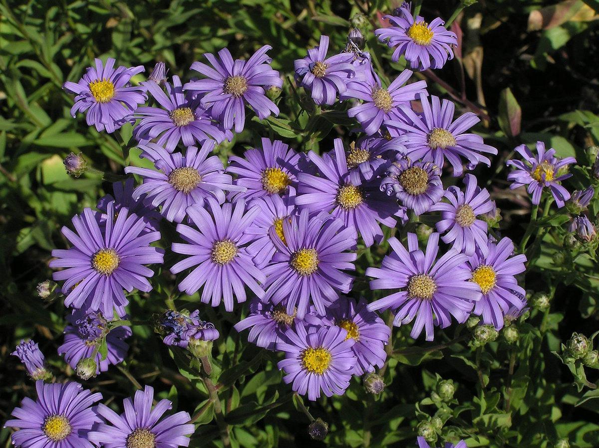 Астра садовая: виды, сорта с фото, названия и описание цветов