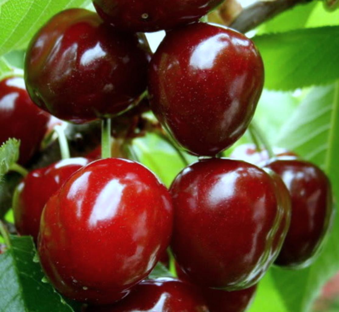 Чудо вишня – аристократ современного садоводства