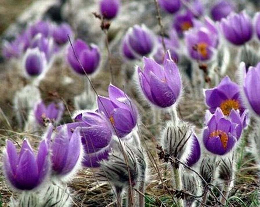 Цветок прострел обыкновенный и весенний: посадка и уход