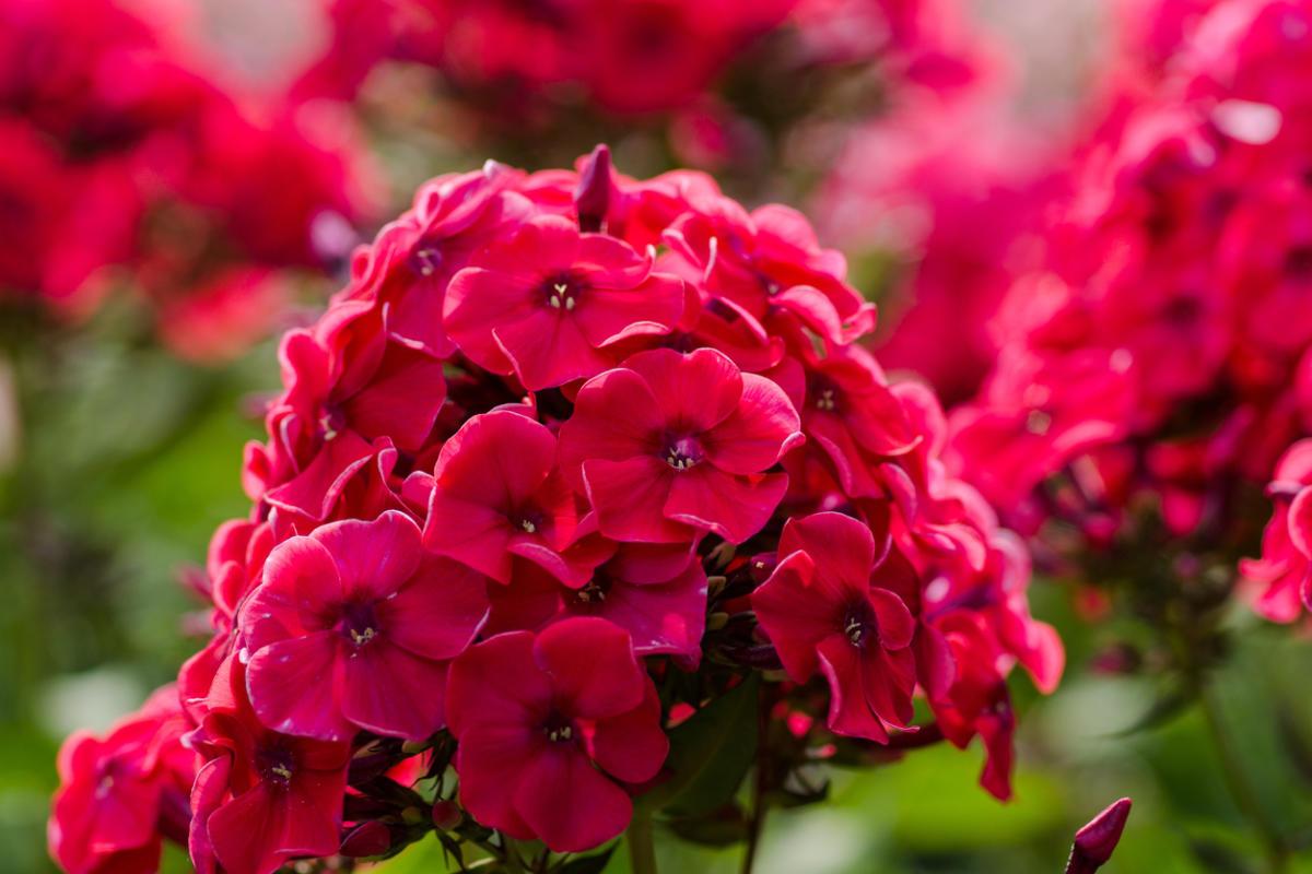Многолетние флоксы: виды и сорта цветов с фото, названия