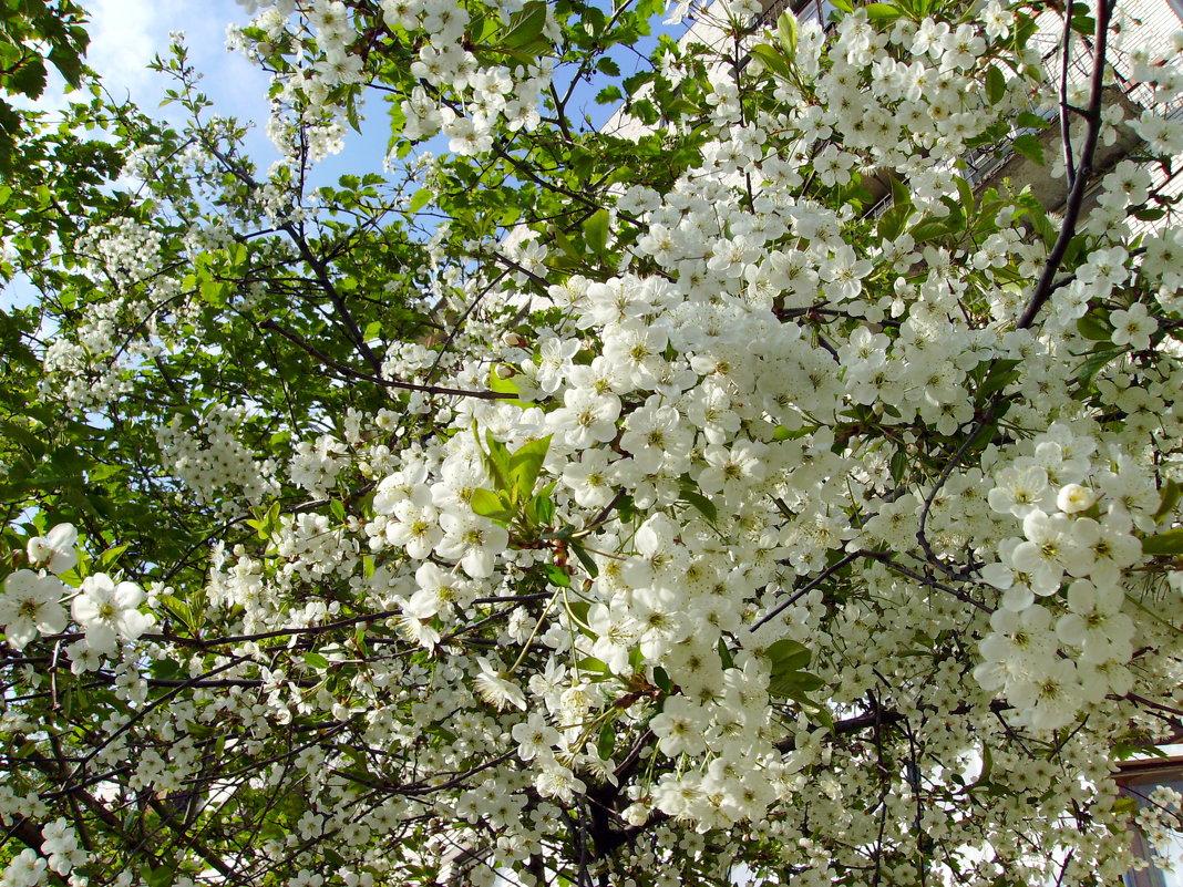 Вишня не цветет и не плодоносит что делать как заставить