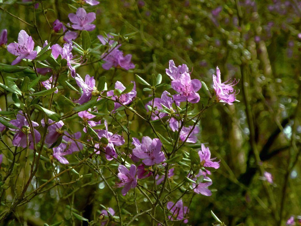 Багульник болотный, фото растения