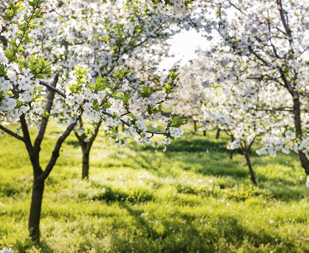 Самые удачные сорта вишни для Подмосковья с фото плодов и отзывами дачников