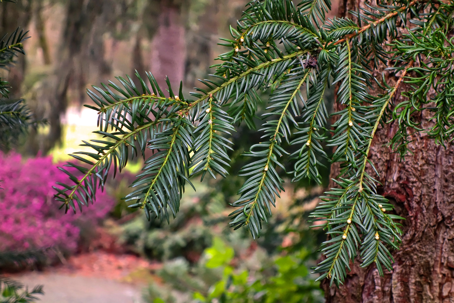 Хвойные деревья для сада: фото, названия