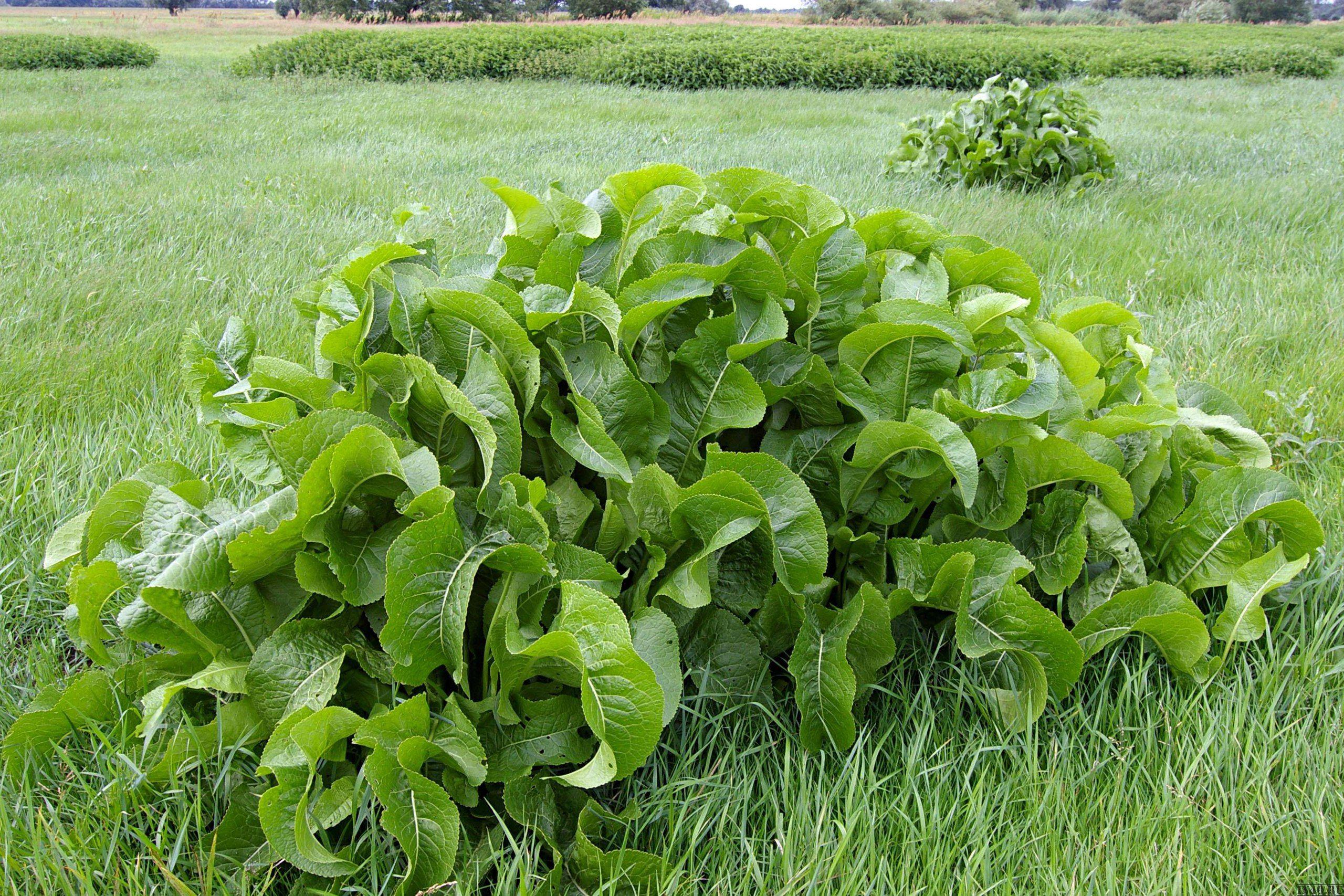 Как посадить хрен на огороде: сроки посадки хрена, как выбрать место и подготовить почву